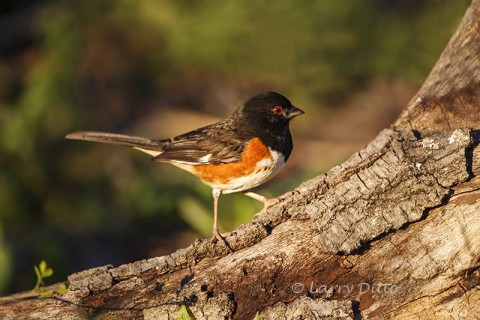 Spotted Towhee male foraging