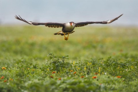 Caracara searching for gull nests among the wildflowers in Rockport.