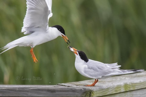 Forster's Terns bonding