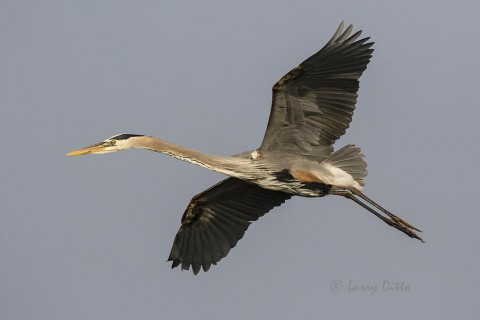 Great Blue Heron in flight over Aransas Bay.