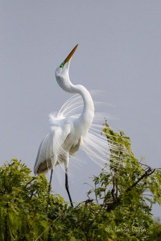Great Egret displaying its plume feathers.