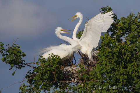 Great Egrets pair displaying at nest with young.