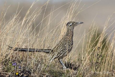 Greater Roadrunner at Adobe Walls west of Canadian.