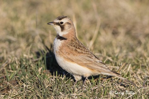 Horned larks visited the lek each morning.
