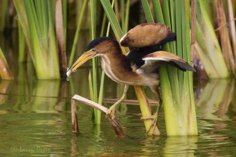 Least Bittern with fish in the cattails at Port Aransas Birding Center.