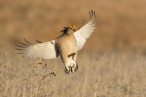 Landing lesser prairie chicken.