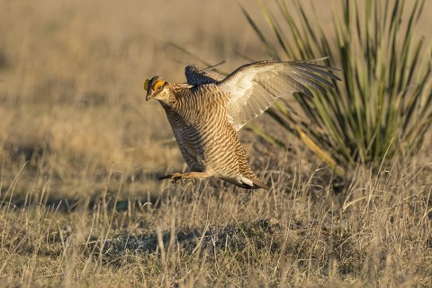 Lesser Prairie Chicken male landing