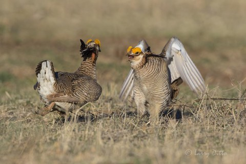 Prairie Chicken threat posture.