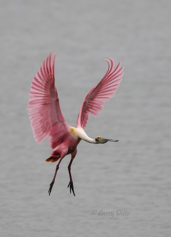 Roseate Spoonbill spreading its wings for a soft landing.