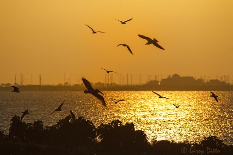Brown Pelicans and laughing gulls at sunset on Galveston Bay