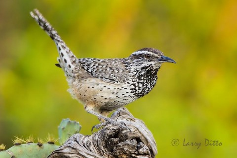 Cactus Wren with colorful background at Transition Ranch.