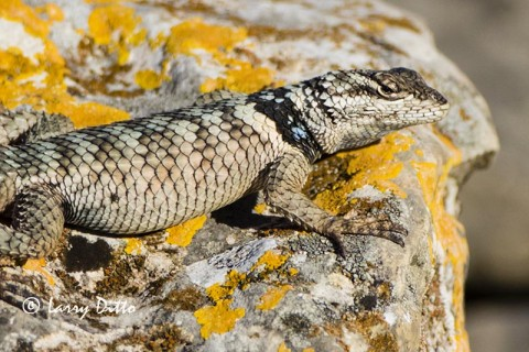Crevise Spiny Lizard and lichen covered limestone outcropping.