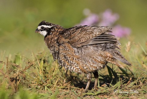 Northern Bobwhite male shaking and re-organizing his feathers.