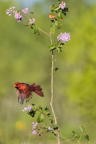 Northern Cardinal flying from Crepe Myrtle branch..