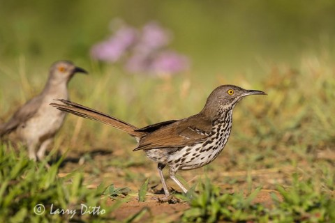 Curve-billed and Long-billed Thrashers chasing after prey.