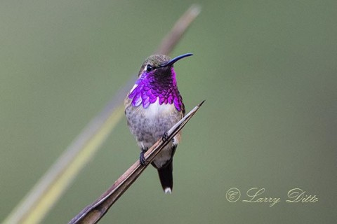Lucifer Hummingbird in breeding plumage.