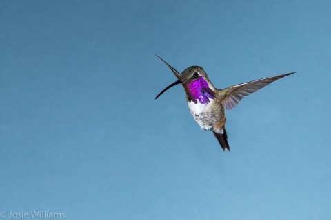 Male Lucifer Hummingbird hovering.