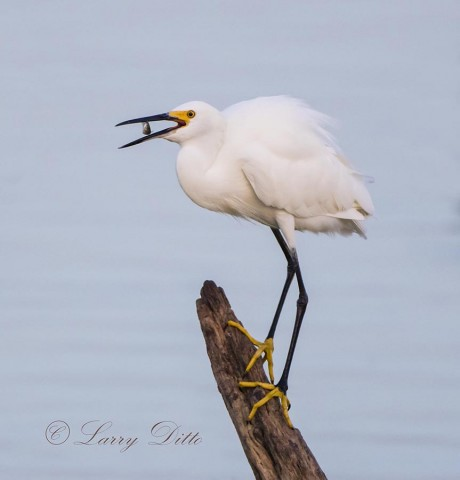 Snowy Egret eating fish