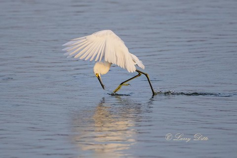 Snowy Egret plucking minnow from water on the fly.