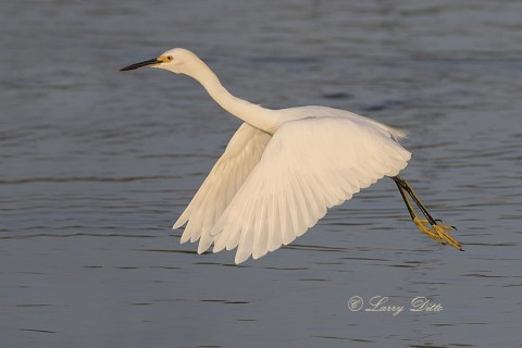 Snowy Egret launching into flight.
