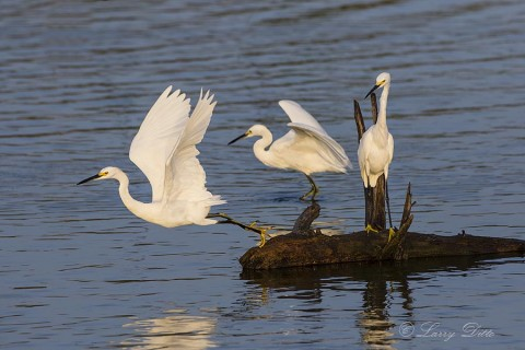 Snowy Egrets resting on floating log.