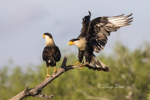 Crested Caracaras on perch.