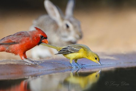 Hooded Oriole female drinking with northern cardinal and cottontail rabbit