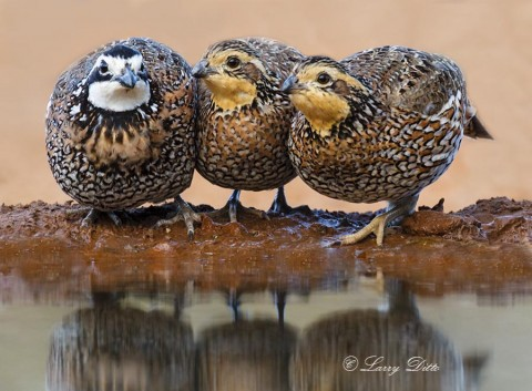 Trio of Northern Bobwhite quail drinking.