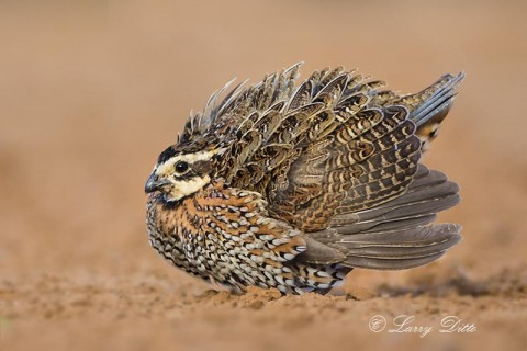 Northern Bobwhite, male displaying.