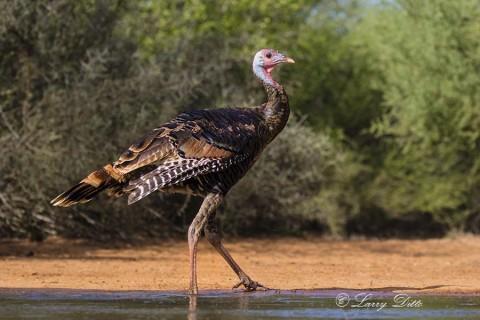 Young gobbler Rio Grande Turkey wading.