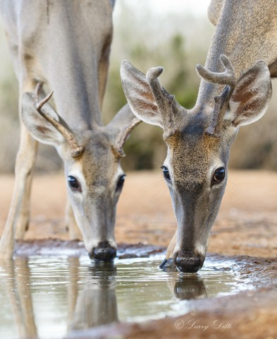Buck deer drinking.