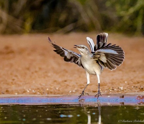 Northern Mockingbird at lift off from a ranch pond.