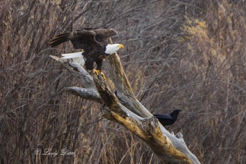 Bald Eagle and raven on dead tree