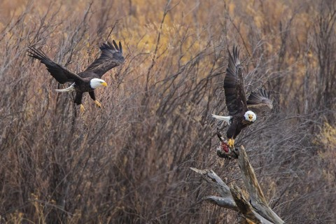 Bald Eagles fighting over duck