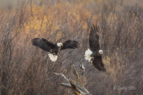 Bald Eagles, adults fighting over duck kill.