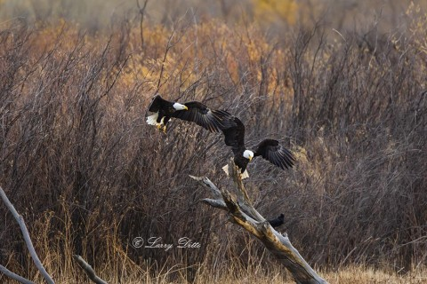 A second eagle arrives at the perch to try claiming the northern pintail carcass.