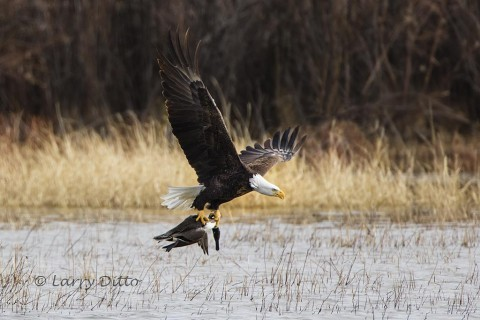 Bald Eagle with northern pintail.