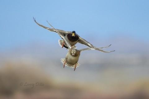 Mallard pair landing.
