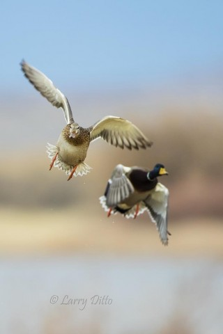 Mallards aborting takeoff.