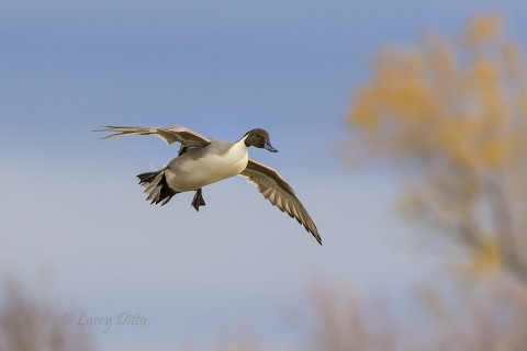 Drake northern pintail landing near golden willows.