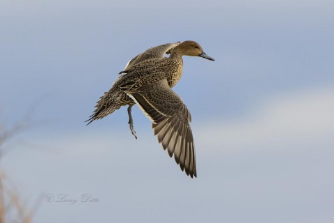 Northern Pintail hen landing