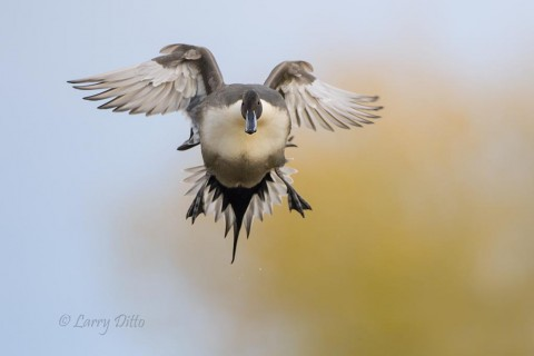 Northern Pintail drake breaking for the landing.
