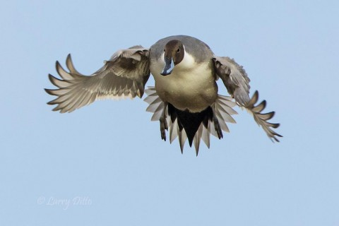 Northern PIntail with wings and tail catching a lot of air.
