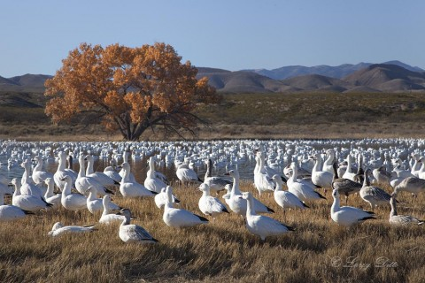 Snow geese resting on a pond during mid-day.