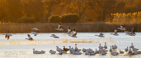 Snow geese leaving a frozen roost pond at sunrise.