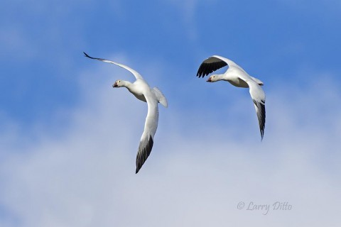 Snow Goose pair turning in flight.