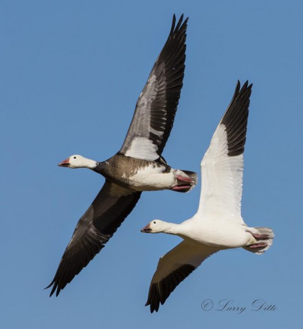 Snow Goose pair in flight.