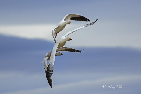 Snow Goose family in flight.