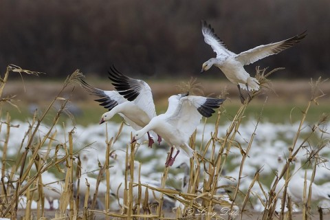 Snow Goose family landing in corn