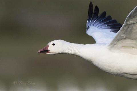 Close up of Snow Goose in flight.